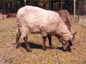 Profile grazing view of Tripp, showing his beautiful fiber coat